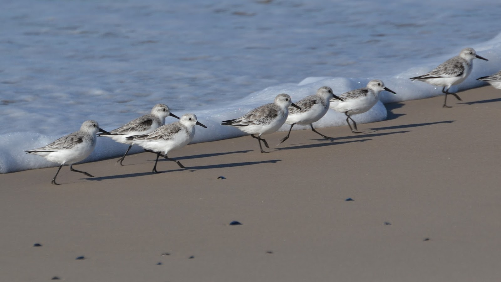 Aves De La Floresta: Playerito Blanco