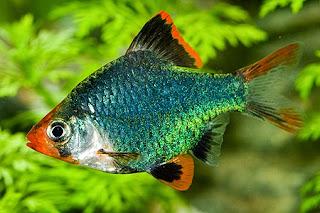 Budidaya Ikan green tiger