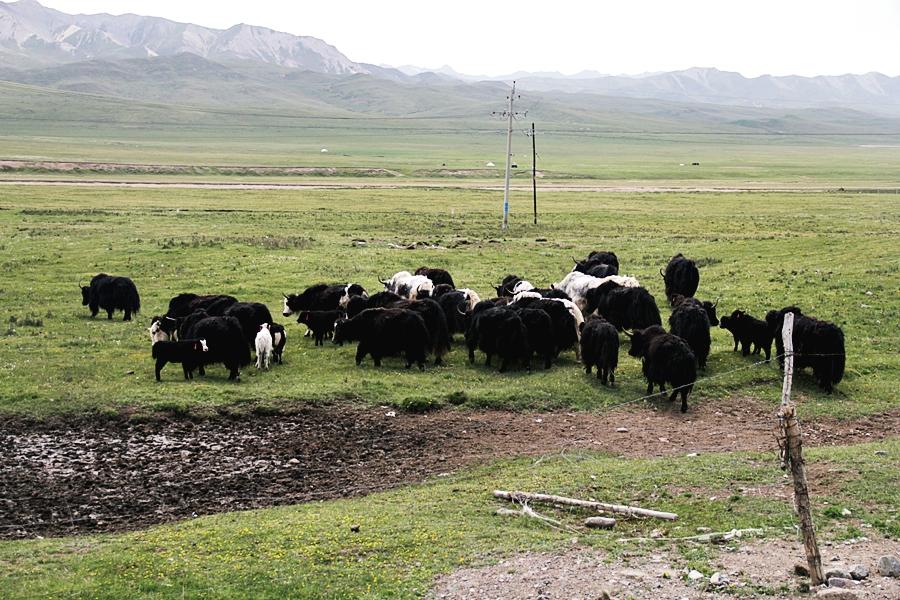yak china qinghai