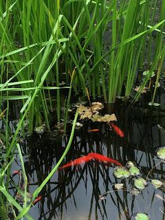 ピサ植物園の金魚