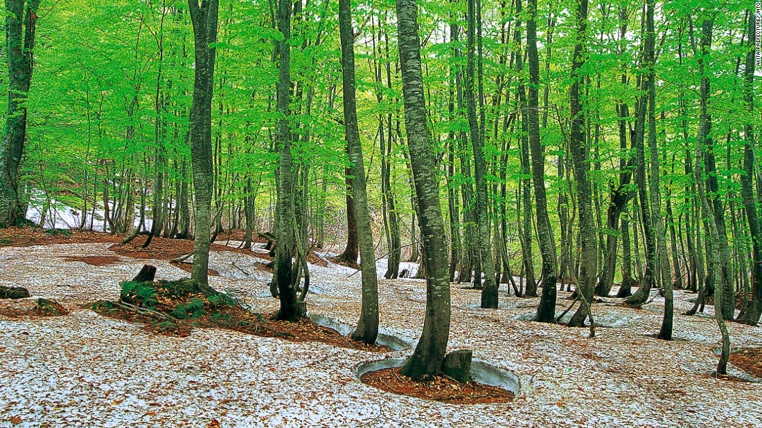 The core of Shirakami-Sanchi in the mountains of northern Honshu is the last of the Siebold's beech forest that once dominated the slopes of northern Japan. The largest in East Asia, the untouched beech forest has very few visitors, partly due to permit requirements and lack of man-made facilities