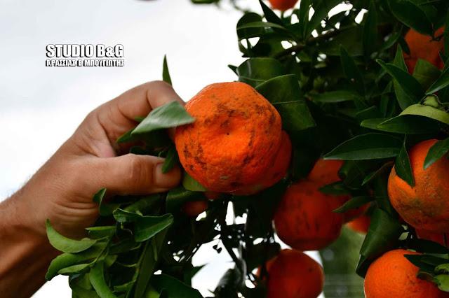 Σύσκεψη στο Υπ. Αγροτικής Ανάπτυξης για την καταστροφή των μανταρινιών στην Αργολίδα