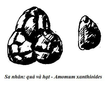 Quả và hạt Sa nhân - Amomum xanthioides - Nguyên liệu làm thuốc Chữa Bệnh Tiêu Hóa