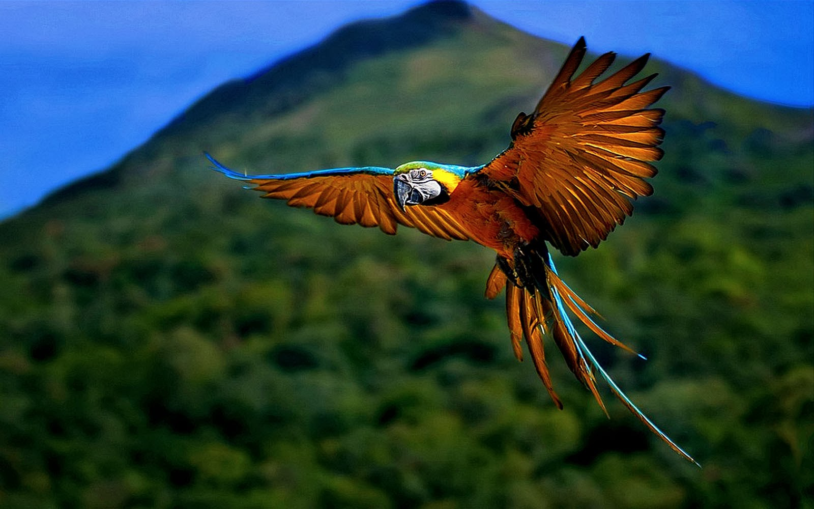 wallpaper: Macaw Bird Wallpapers