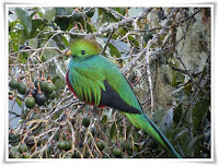 Quetzal Bird Photo