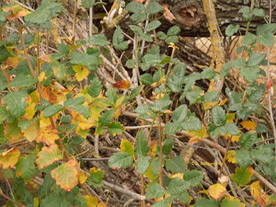 Poison Oak at Larry Moore Park in Mid-October, © B. Radisavljevic