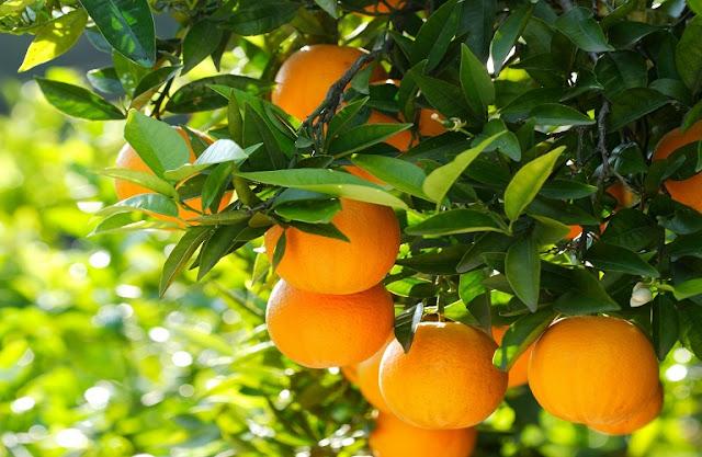 Πορτοκάλια: 20-30 λεπτά ολοκλήρωσε η Ναβαλίνα και από 15-25 λεπτά ξεκινάνε τα Μέρλιν