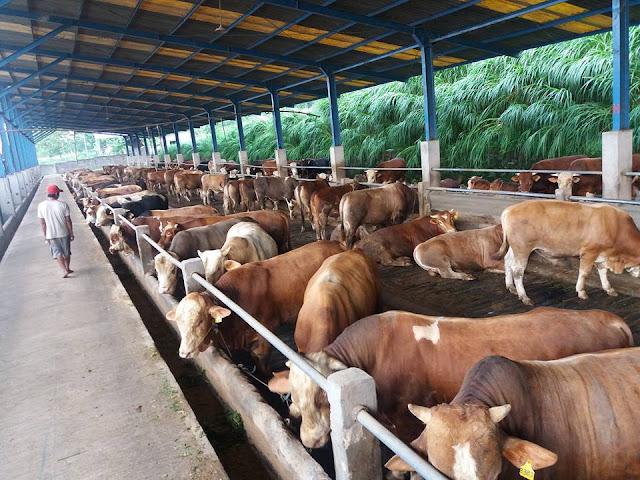 Cara Membuka Usaha Kecil Kecilan Di Desa - usaha ternak sapi potong
