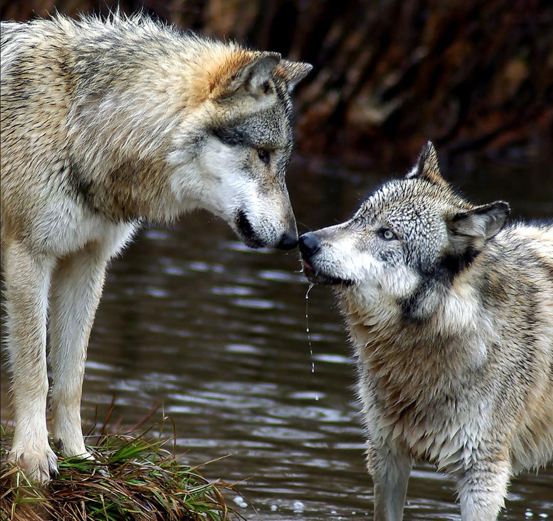 фото животных пары волков и львов