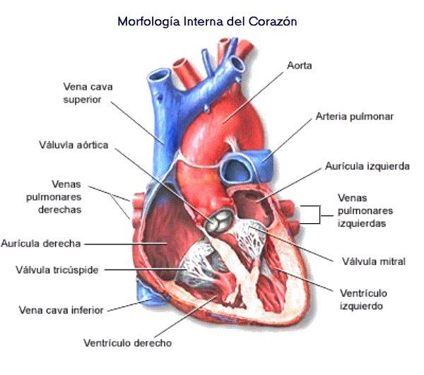 Increíble 6 4 La Anatomía Externa Del Corazón Ilustración - Anatomía ...