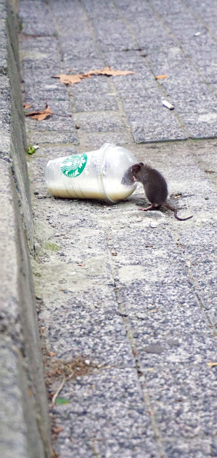 A rat having it's fill.