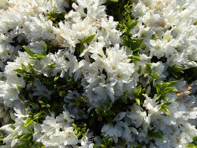 山田池公園 ツツジの丘(花木園) 白いキリシマツツジ