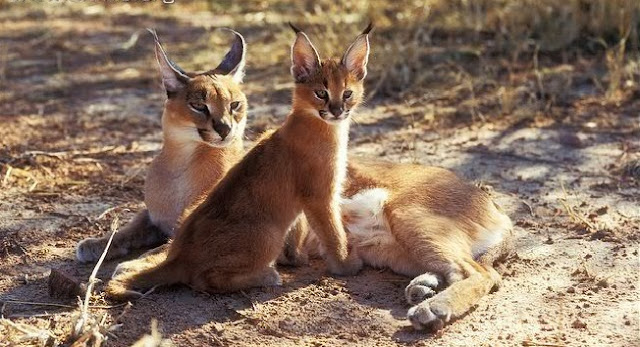 Caracal - Lince-do-deserto ou Lince-persa - CARACAL - Um felino que, embora seja um animal selvagem, pode ser criado como animal doméstico, em alguns países. E, como predador que é, ele pode ainda ser treinado a caça.