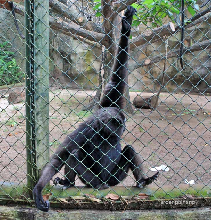 siamang kebun binatang ragunan jakarta
