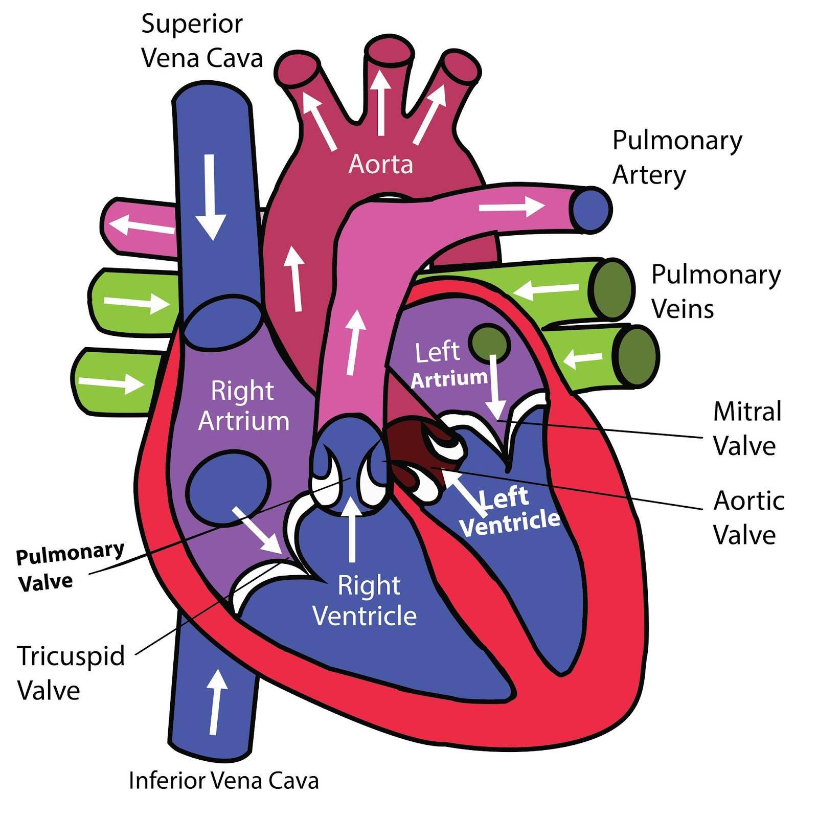cardiovascular system function