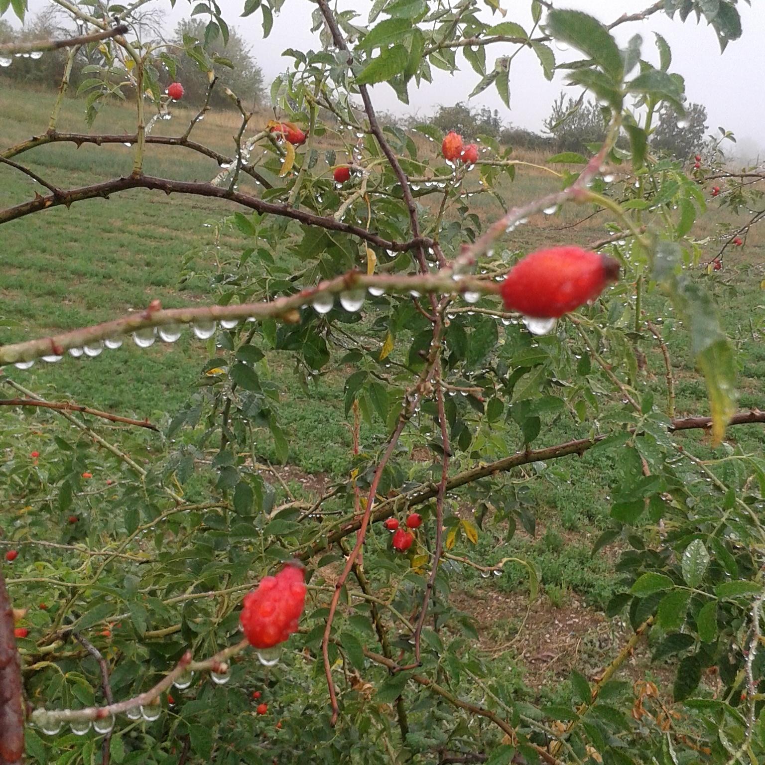 i campi di mais: marmellata di bacche di rosa canina
