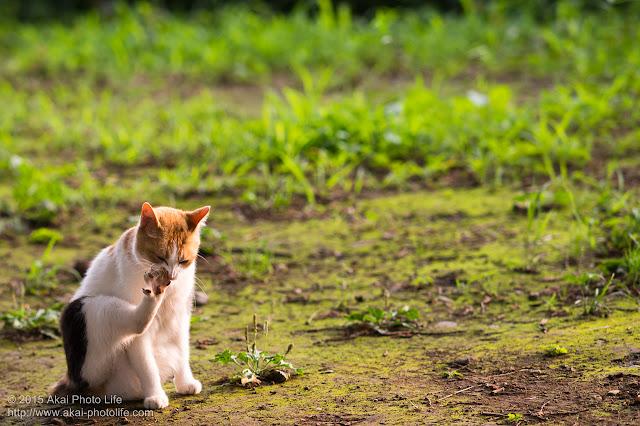 夕陽を浴びながら毛繕いしている三毛猫