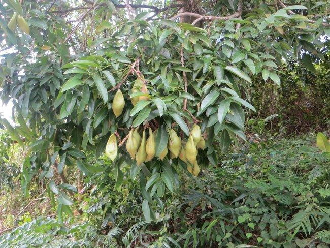 загадочный фрукт