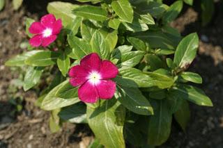 Catharanthus roseus 'Pacifica Magenta Halo'