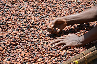 Cocoa Institute Reinstates 91 Sacked Workers After PMB's Intervention 2
