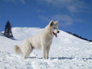 Berger Blanc Suisse-dogs-pets-dog breeds