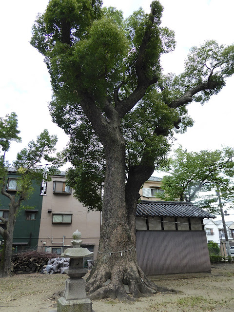 寝屋川市 神田天満宮 指定番号29番、樹高21.09m、幹周り4.86m、推定樹齢450年のクス