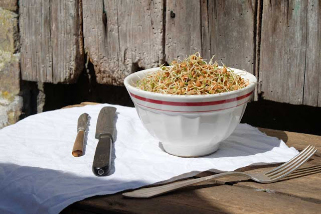 Sprossen aus Linsen-Keimen in einer weißen Müslischüssel in der Sonne