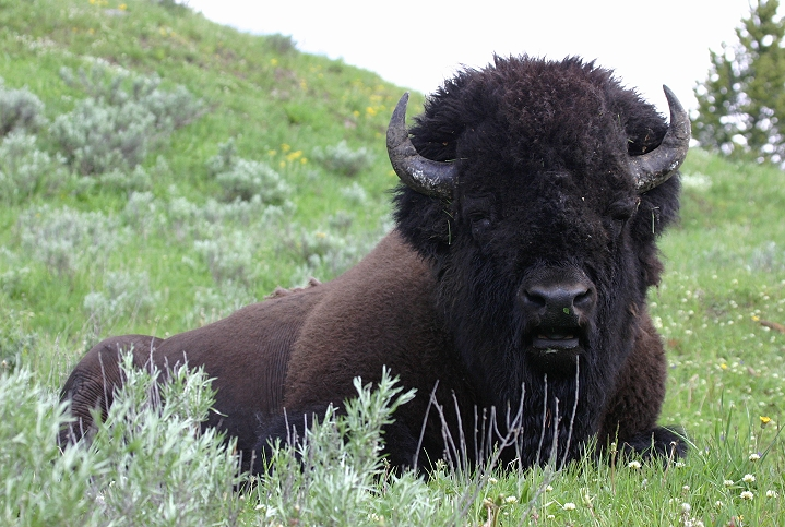 World All Animals American bison