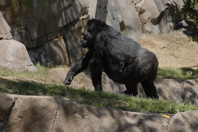Gorilla at the San Diego Safari Park: LadyD Books