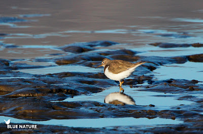 Andarríos chico (Actitis hypoleucos) buscando en las orillas los invertebrados que forman parte de su dieta.