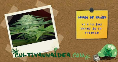 lavado raíces cannabis