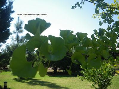Ginkgo biloba en el Arboreto del Carambolo
