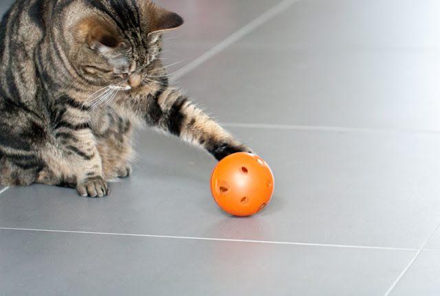 A brown tabby cat plays with a food ball