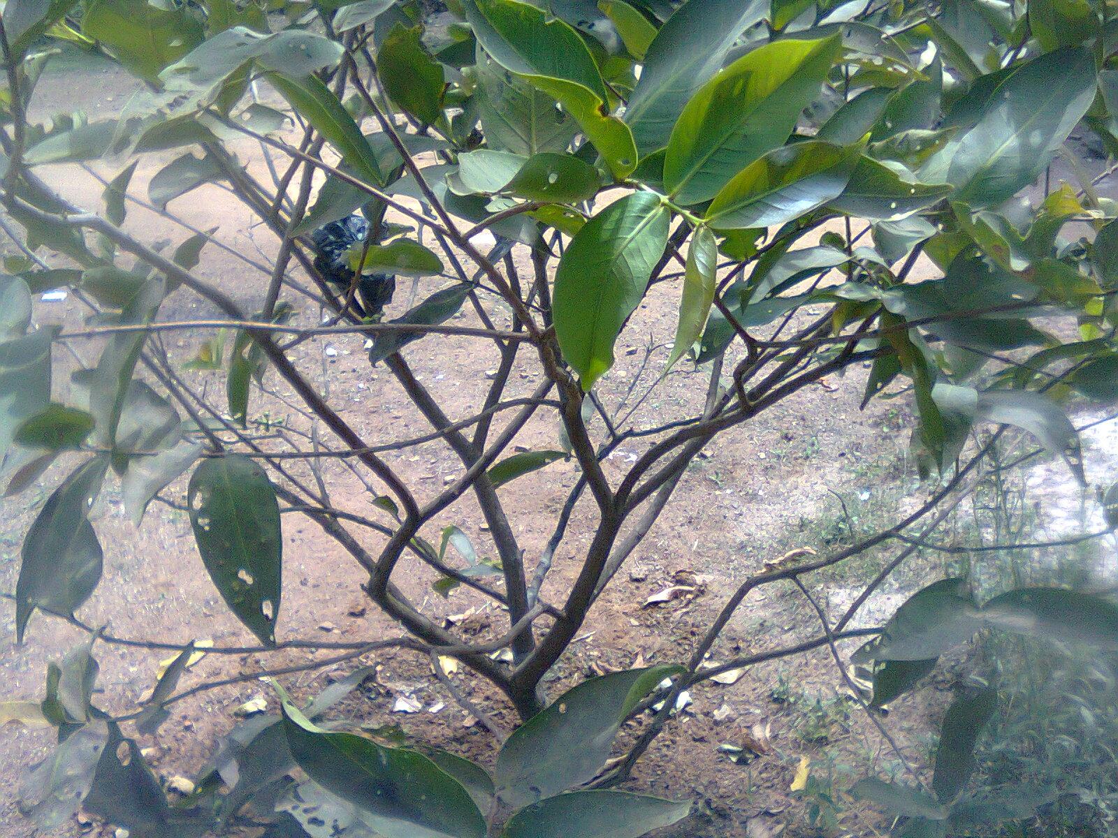 budidaya jambu dari batang cangkokan agar berbuah lebat