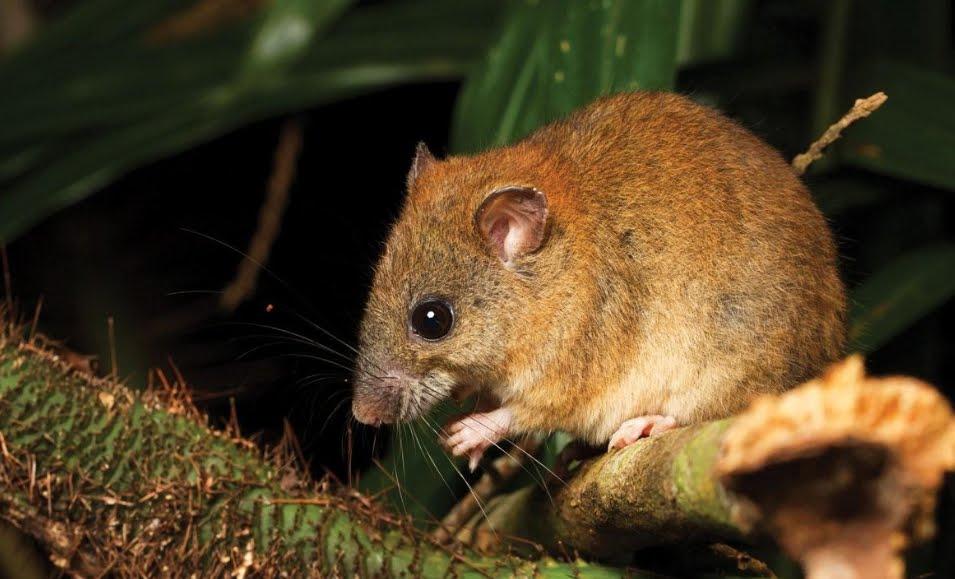 Roditore australiano, primo mammifero estinto per il cambio climatico