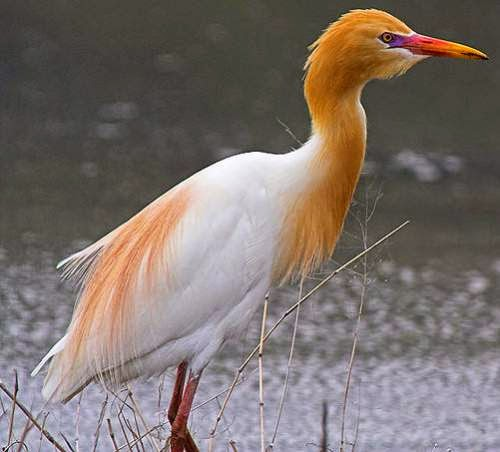 Indian birds - Cattle egret - Bubulcus ibis