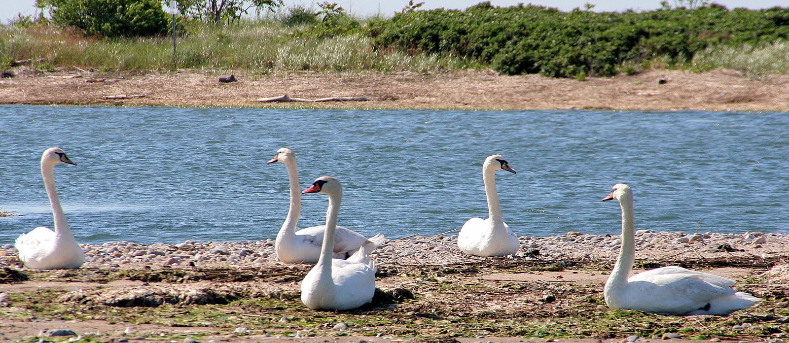 What Is A Group Of Swans Called 9