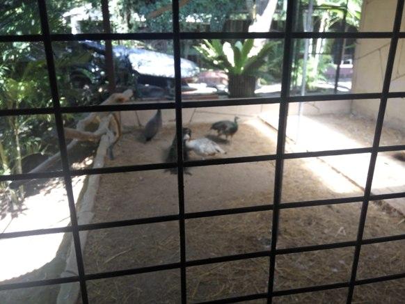 burung merak di taman rama rama