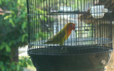 Ciri ciri lovebird di rumah nampak birahi tinggi