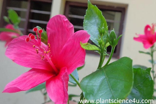 Hibiscus rosa-sinensis (Malvaceae )