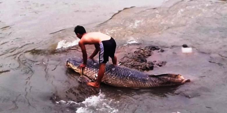 Ikan Raksasa Terdampar di Sungai Ciliwung Bikin Heboh Warga
