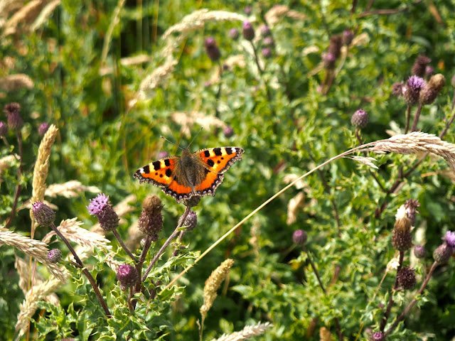 Butterfly on thistles near Stonehaven, Aberdeenshire, Scotland