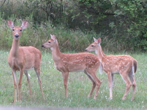 twin fawns with mother