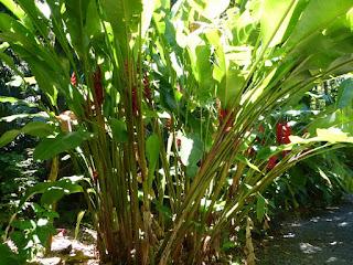Heliconia rouge de la Réunion