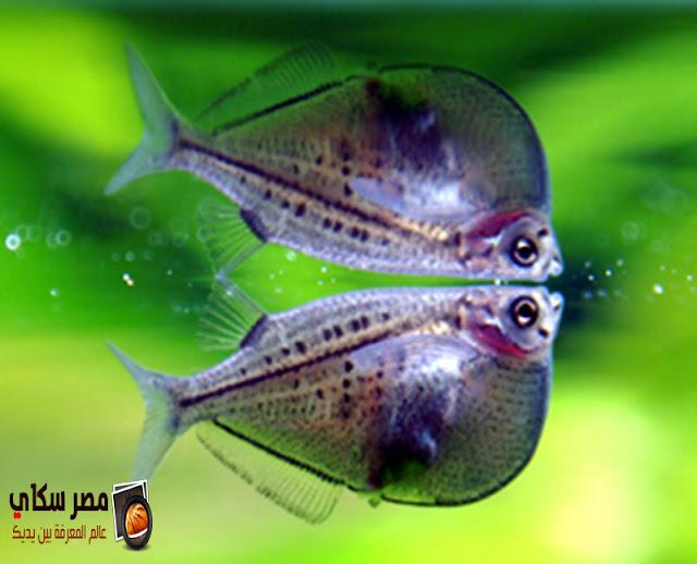 أشهر أنواع أسماك عائلة الشراكيديا Family Characidae