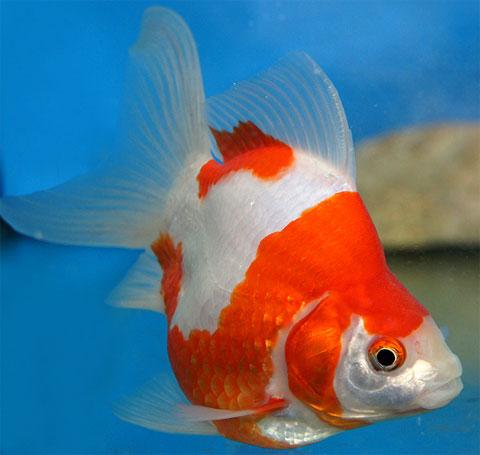 Rahmadkurliawan Jenis Ikan Koki