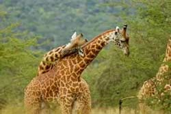 7 Days Pure Wildlife Safari , Murchison Falls,  Kibale Forest-Queen Elizabeth National Park