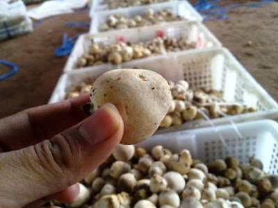Image Result For Bibit Jamur Merang