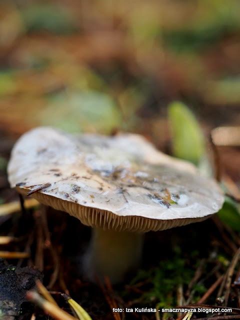 gaski nieksztaltne, siwki, siwule, gaski siwe, grzyby jadalne, grzybobranie, na grzyby, atlas grzybow, jaki to grzyb