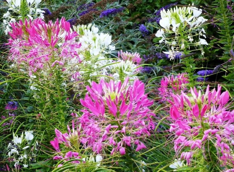 flores rosas y blancas de cleome hassleriana